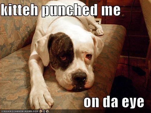 american bulldog,couch