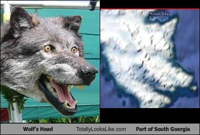 animals country Georgia south georgia wolf - 3323625216