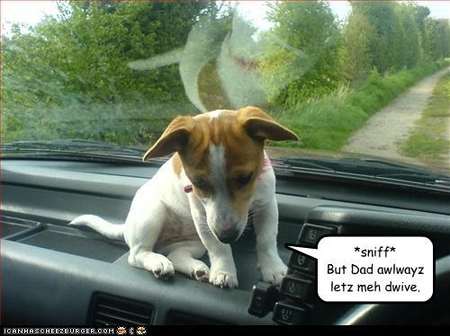 dad driving mean mixed breed mom puppy Sad terrier - 3325684224