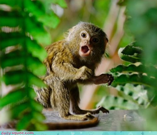 marmoset monkey so tiny - 3327586816