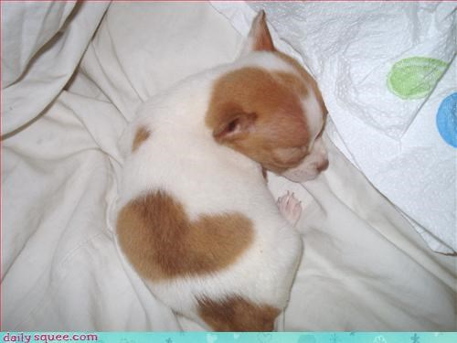 chihuahua,dogs,heart