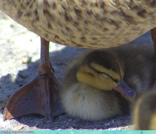 duck duckling mom - 3333802496