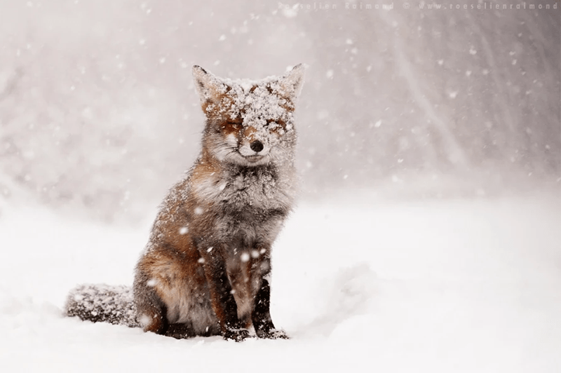 Photos of winter foxes