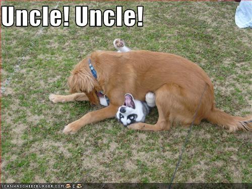 bite husky mixed breed wrestling - 3346302720