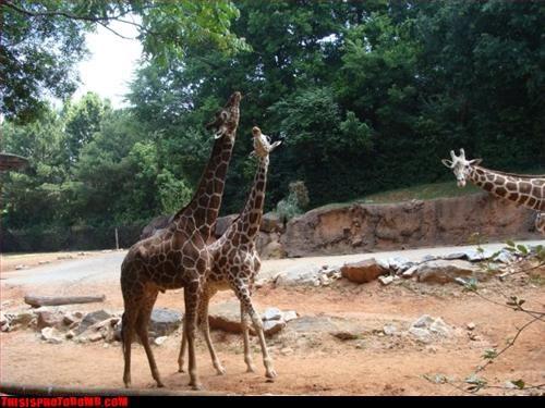 Animal Bomb awesome giraffes zoo - 3348719360