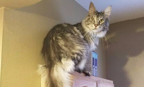 a story on the largest maine coon cat