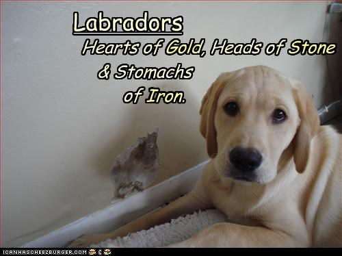 eat hole labrador wall - 3357612544