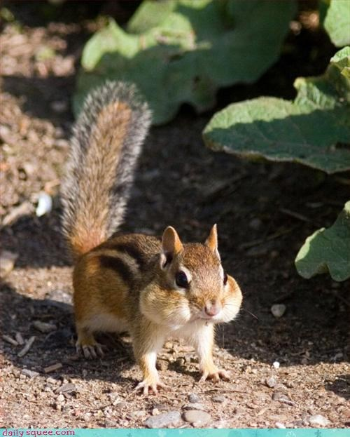 chipmunk,face,noms