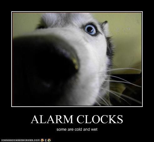 alarm clock,close,husky,nose