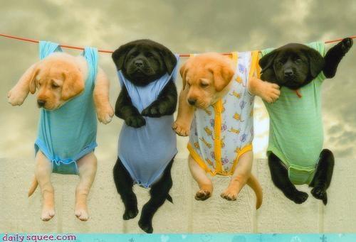 costume Labraday puppies - 3375704064