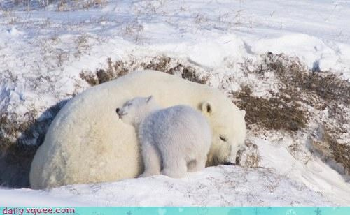 polar bear smooshface snuggle - 3375972608