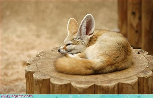 fennec fox nerd jokes - 3376038912
