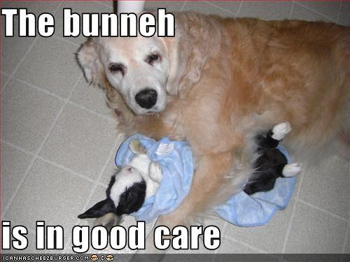 bunny golden retriever - 3377875456
