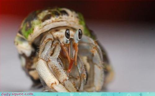 crab,hermit,hermit crab