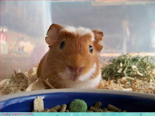 cute guinea pig noms - 3382178560
