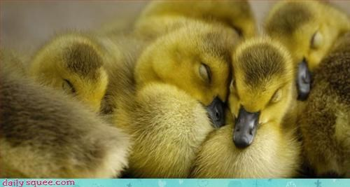 cute duck ducklings - 3383555584
