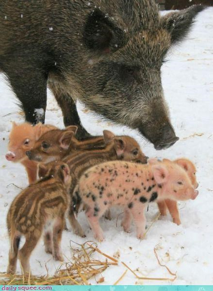 bacon pig piglets - 3383555840