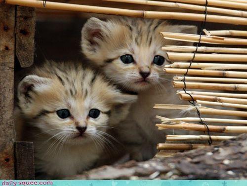 Cats kitten sand cats - 3386040064