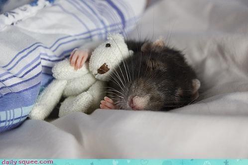 adorable cute rat - 3386423808