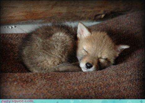 coyote,cute,naps
