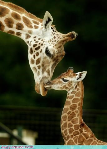 giraffes,glamour shot,kisses