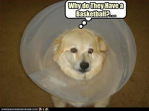 basketball cone golden retriever puppy uh oh - 3392169472