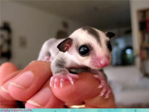 cute,diabetes,sugar glider