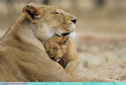 cub kitten lioness - 3392622592