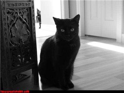 Animal Bomb black cats Cats double vision - 3392743936