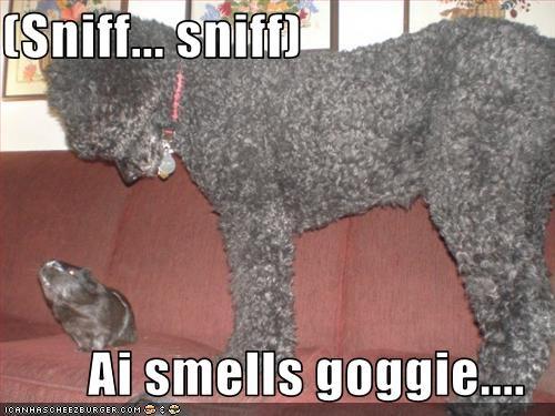 (Sniff... sniff)  Ai smells goggie....