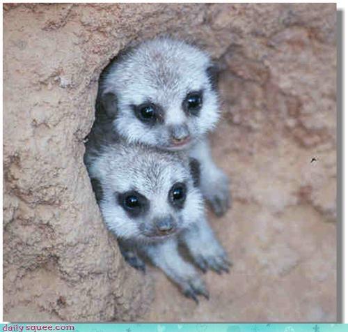cute face meerkat - 3400181504