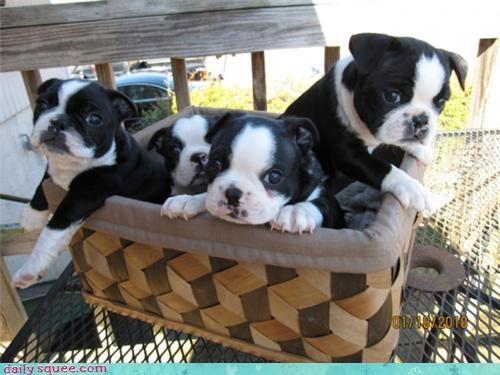 basket boston terrier picnic - 3401259776