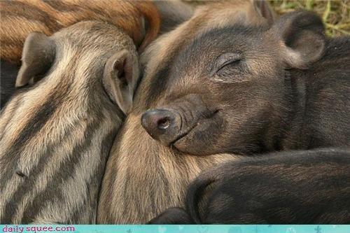 bacon piglet pig - 3404185600