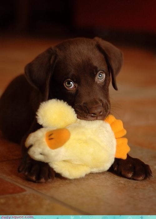 chocolate lab cute dogs - 3405421056