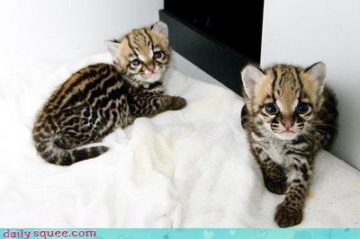 cheetah cute face kitten - 3413933312