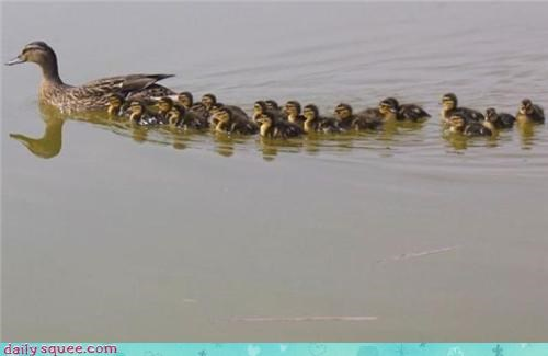 duck ducklings mom