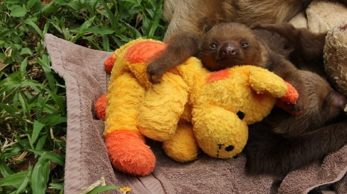 photos of baby sloths with teddy bears