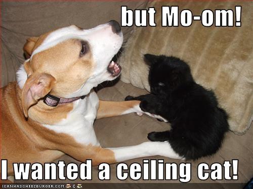 basement cat ceiling cat pit bull present