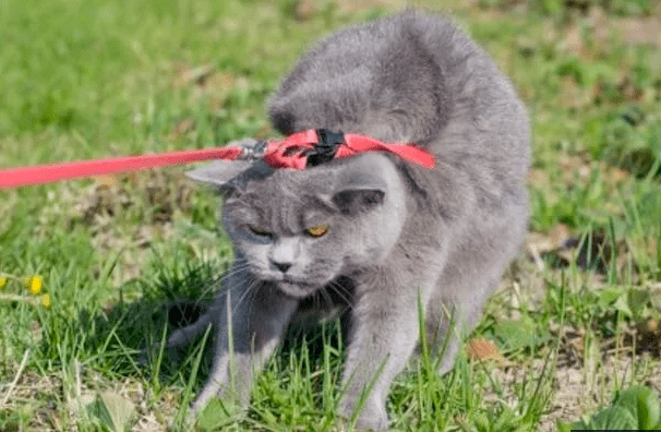 cats who hate their leashes
