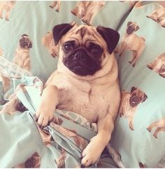 a cute picture of a dog tucked into his owners bed cover for a list of cute dogs tucked in