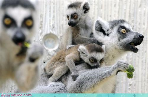 baby lemur nerd jokes - 3421502208