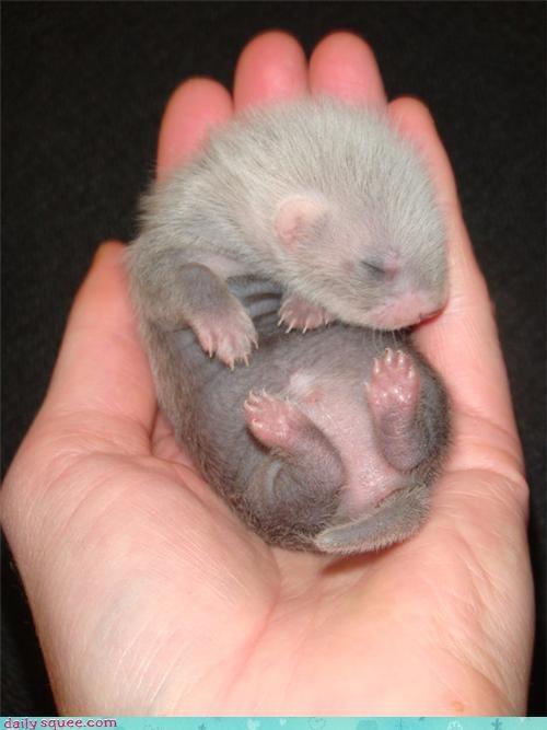 baby ferret tiny - 3422352640