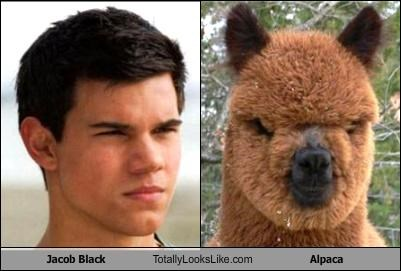 Jacob Black and Alpaca looks alike when these funny pictures are compared side by side.