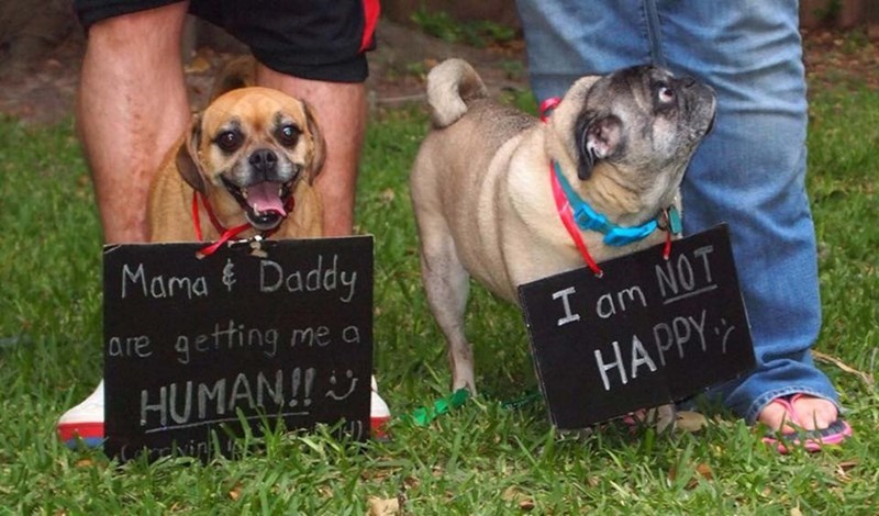 pregnancy announcements featuring the family dogs