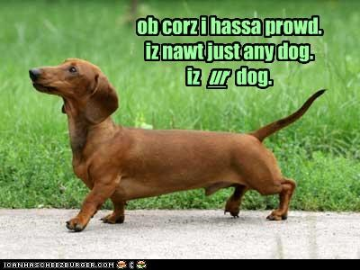 dachshund,outside,pride,proud,strut,walk