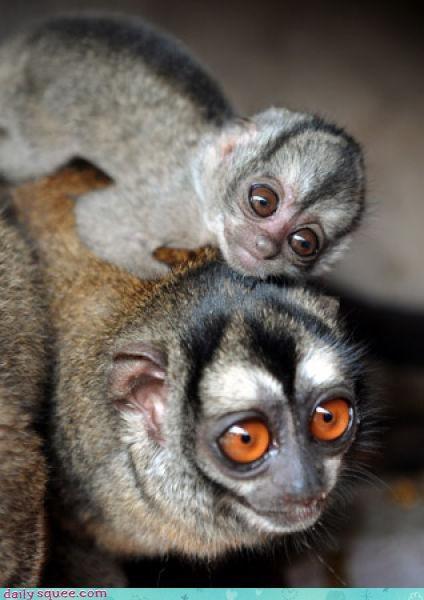 baby lemur mystery monday - 3437182464