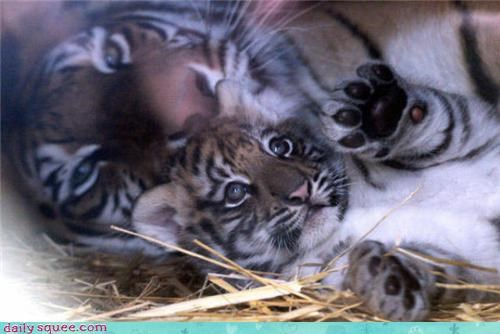 cub kitten tiger - 3437195776