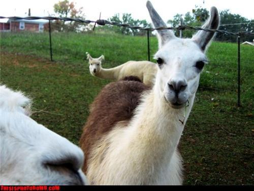 Animal Bomb cute llama - 3438412288