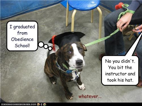 graduated,hat,leash,pit bull mix,school