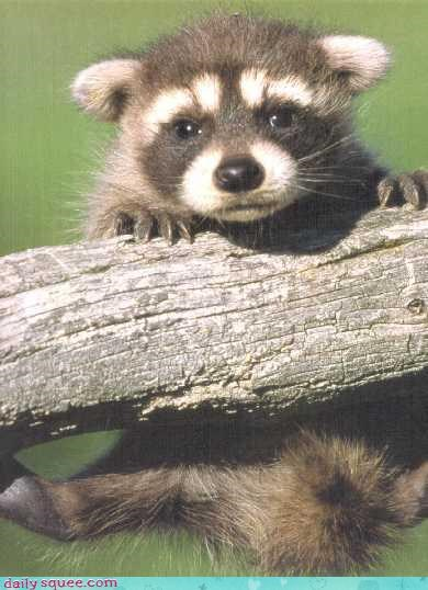 cute raccoon Sad - 3443729152